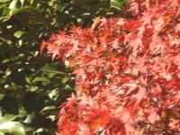 紅葉近景.jpg